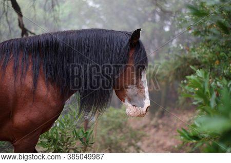 Wild American Mustang Stallion Walking Through Foggy Woodlands