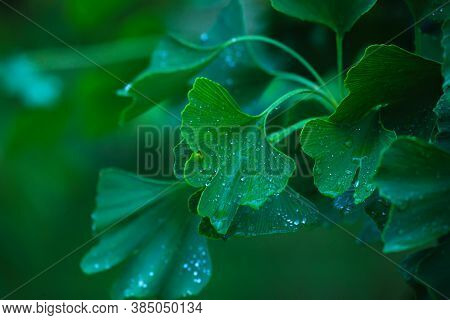 Raindrops Close-up On Young Leaves Of Ginkgo Biloba. Abstract Nature Background, Soft Focus