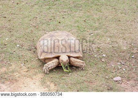 Sulcata Tortoise Are Eating Morning Glory Gourmet.