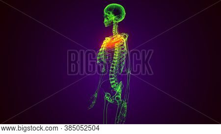3d Reader Of Human  Skeleton Anatomy Clavicle Bones