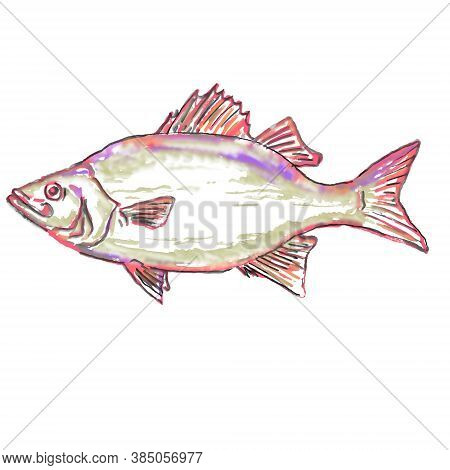 Watercolor Painting Illustration Of A White Bass Or Morone Chrysops, A Member Of The Temperate Bass