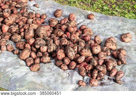 Digging Potatoes In The Garden. Time Of Harvest, Planting Potatoes.