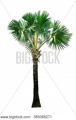 Tree Isolate On White Background. With Clipping Path.