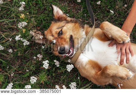 1 Dog Lying On The Grass Among Flowers In A Clearing On His Back, Happy Dog Face