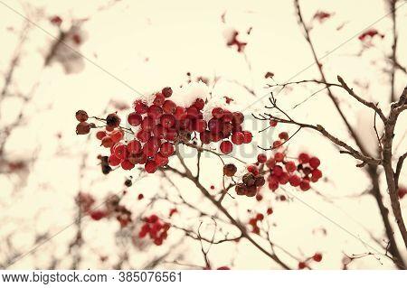 Seasonal Berries. Christmas Rowan Berry Branch. Hawthorn Berries Bunch. Rowanberry In Snow. Berries