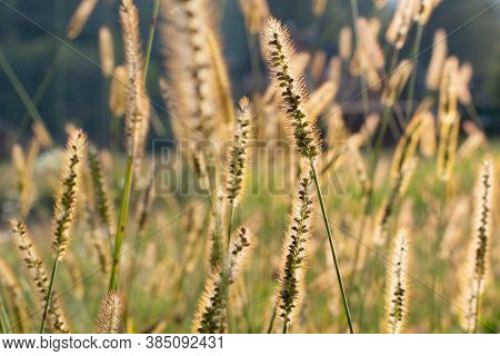 The Glade Of Yellow Spikelets In The  Sunlight