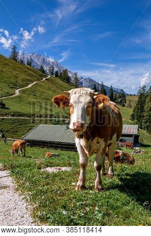 Germany, Bavaria: Funny Alpine Cow Near The Konigssee Lake (berchtesgadener Land)
