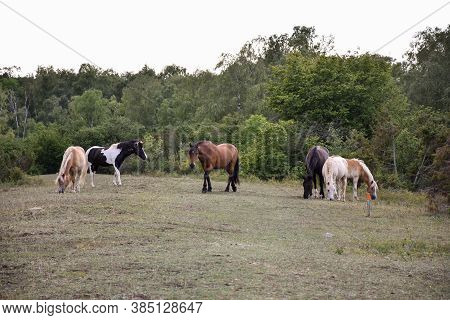 Herd With Grazing Horses In A Forest Glade