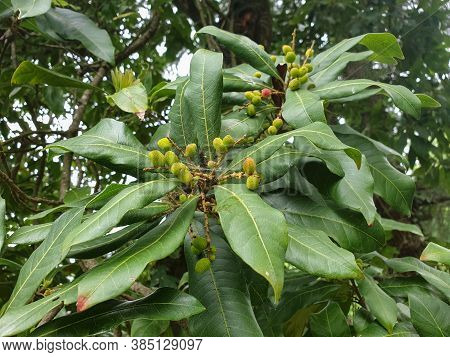 Bayberry On Tree, Closeup Shot Of Kafal (myrica Esculenta) In Hilly Area Of Himachal Pradesh, India
