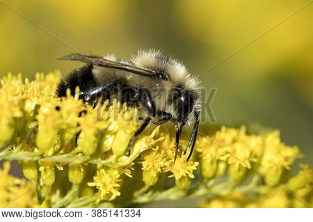 A Honeybee Gathers Pollen From Yellow Flowers At Manito Park In Spokane, Washington.