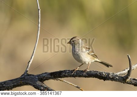 A Juvenile White Crowned Sparrow Perched On A Branch At Turnbull Wildlife Refuge In Cheney, Washingt