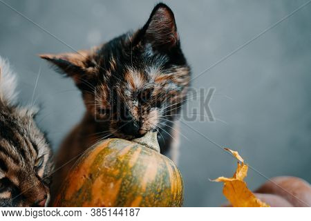 Two Cats And A Ripe Pumpkin On A Blue Background. One Cat Nibbles A Branch From A Pumpkin, Another C
