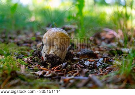 King Of Edible Mushrooms, Boletus Edulis Porcini Cepe Growing In Forest
