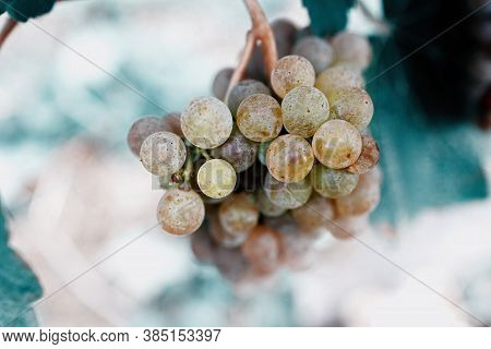 Detail Of White Grapes In The Vineyard