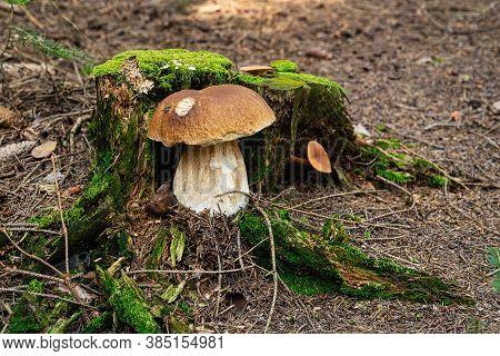 Porcini Mushroom In Forest, Close Up Of Edible Mushroom