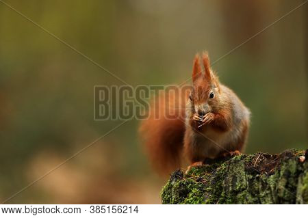 Cute Red Squirrel Sit On Stump In Autumn Orange Scene With Nice Deciduous Forest In The Background.