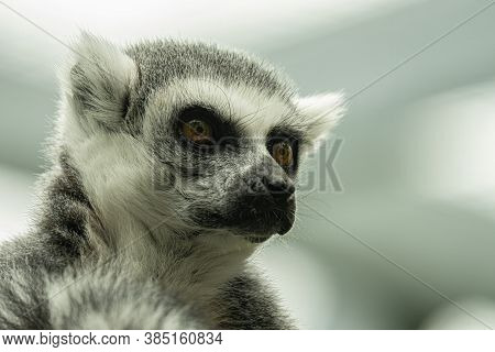 Ring Tailed Lemur Gets A Close Up And Is Watching You From A Branch Nearby