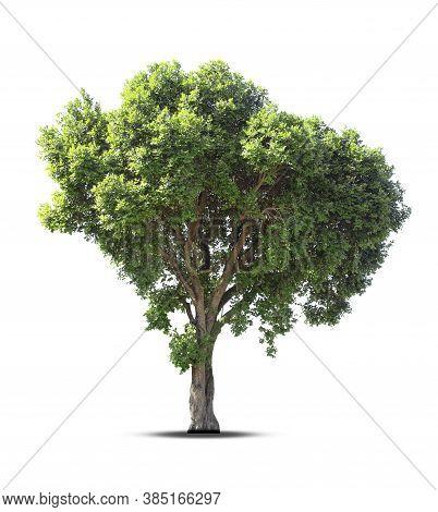 Isolated  Tree On White Background.large Trees Database Botanical Garden Organization Elements Of As