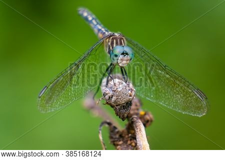 Close Up Of A Female Blue Dasher (pachydiplax Longipennis). Raleigh, North Carolina.