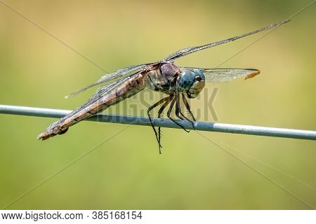A Female Great Blue Skimmer (libellula Vibrans) Perched On A Fence. Raleigh, North Carolina.