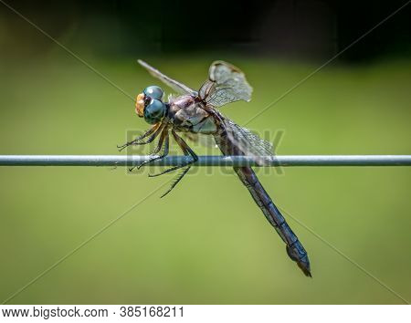 A Female Great Blue Skimmer (libellula Vibrans) Perched On A Fence. Seems To Be Praying For Somethin