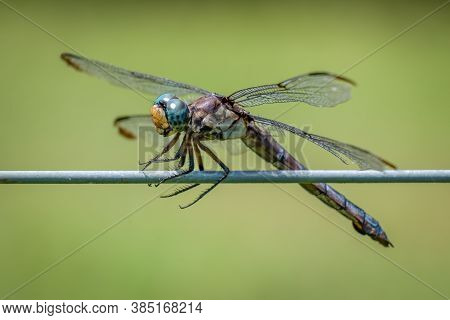 Closeup Of A Female Great Blue Skimmer (libellula Vibrans) Perched On A Fence. Raleigh, North Caroli