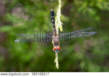 Top View Of A Red-eyed Female Blue Dasher (pachydiplax Longipennis). Raleigh, North Carolina.