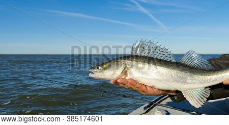 Fisherman Holds A Caught Zander Or Pike Perch In Hands Against The Background Of The Baltic Sea. Fis