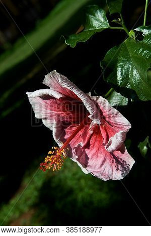 View Of Reddish Pink Hibiscus Flower Having Protruding Stamen With Red Red Stigma And Yellow Anther
