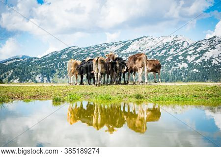 Group Of Cows In The Free Nature. Herd Of Animals In The European Alps During Summer.