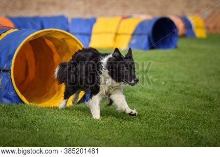 Border Collie In Agility Tunel On Ratenice Competition. Amazing Day On Czech Agility Competition In