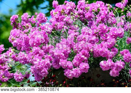 Large Group Of Dianthus Plumarius, Known As The Common Pink, Garden Pink, Or Wild Pink, In A Large G