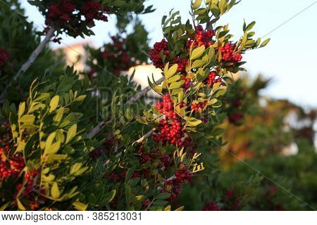 Red Berries Ripen On Branches Of Shrubs