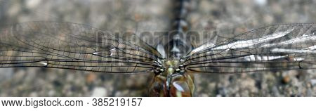 A Common Hawker Female Dragonfly Close Up Of Her Intricate Wings Detail Nearing The End Of Her Trans