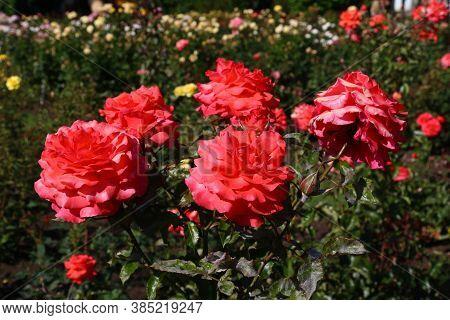 Flower In Garden Of Rotorua, New Zealand