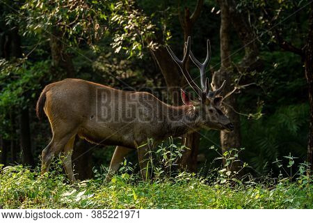Male Sambar Deer Or Rusa Unicolor With Long Horn Or Stag In Natural Green Background At Ranthambore