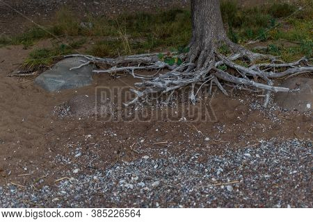 White Gray Dry Patterned Twisting Tangled Roots Of Old Trunk Tree Among Sand Earth With Shells And P