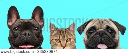 happy French Bulldog dog sticking out his tongue, metis cat just standing and a Pug dog panting on blue background
