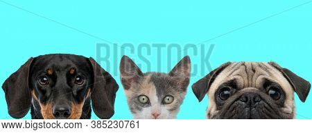 Teckel dog, metis cat and Pug dog are standing next to each other, hiding their face from camera and looking ahead on blue background