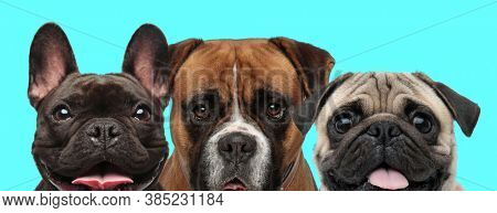 sad Boxer dog standing between a happy French Bulldog dog and a Pug dog that are panting on blue background