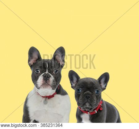 cute french bulldog dog sitting next to a baby french bulldog dog wearing red leash happy on yellow background