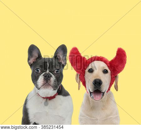 cute french bulldog dog wearing collar next to a labrador retriever dog wearing devil horns happy on yellow background