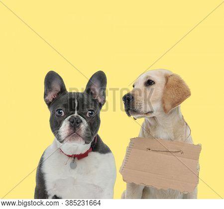 cute french bulldog dog wearing collar next to a labrador retriever dog wearing carton board sad on yellow background