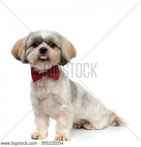 Focused Shih Tzu puppy panting, looking forward and wearing bowtie while sitting on white studio background