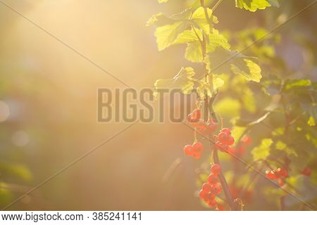 Red Currant Berries On A Branch, Close-up, Copy Space. Currant Berries Shine Through In The Sun. Bri