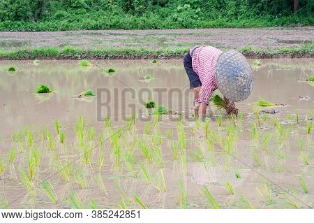 Young Man Farmer Bend Down For Are Rice Planting On The Paddy Rice Farmland. Northern, Thailand In T