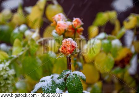 White Snow On An Orange Rose. Cooling In Autumn. Snow Is Falling. Plants Covered With Snow.