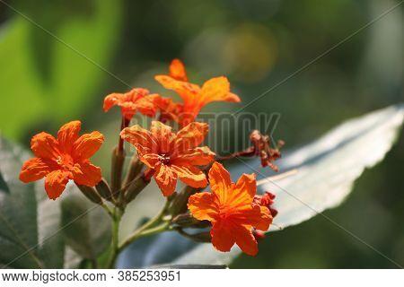 Orange Cordia Sebestena Flower On The Tree. Cordia Sebestena Is A Shrubby Tree In The Borage Family,
