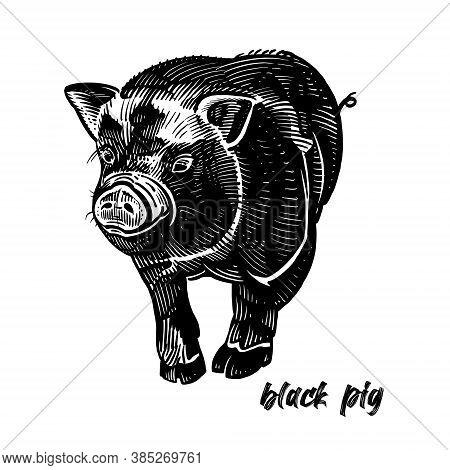 Black Pig. Farm Animal. Cute Piglet. Graphics Handmade Drawing. Vintage Engraving Style. Nature. Ske