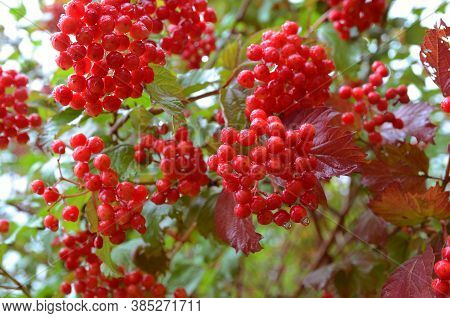 Bunches Of Red Viburnum Berries With Raindrops At The End Of Summer Season. Autumn Guelder Rose With